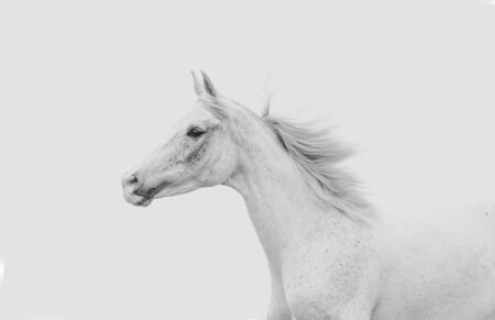 White arabian horse on a white sky background Banque d'images