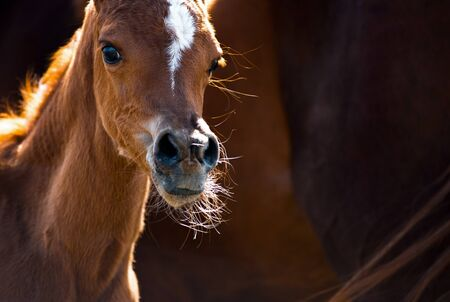 Cute little arabian foal with mother