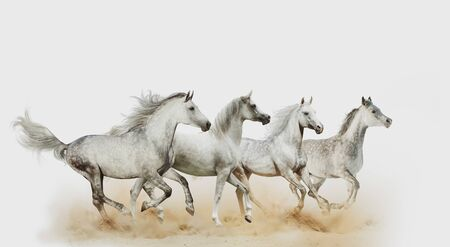 Four beautiful arabian horses running in dust together, isolated