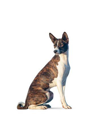 Beautiful tiger color basenji dog