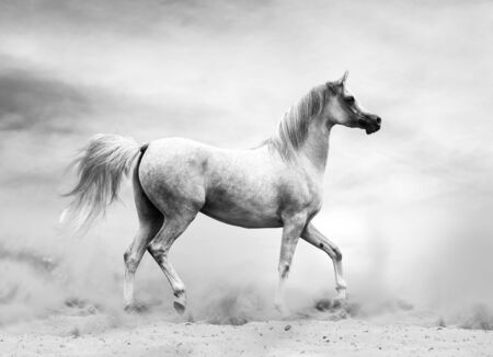 Arabian horse in the desert, black and white shot Banque d'images