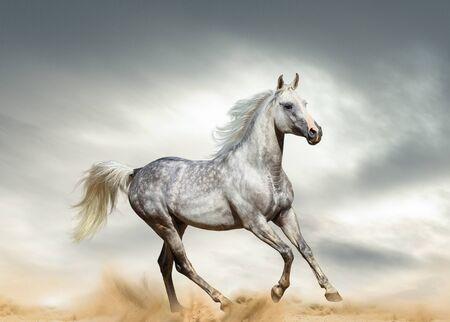 Dapple gray arabian stallion running in desert