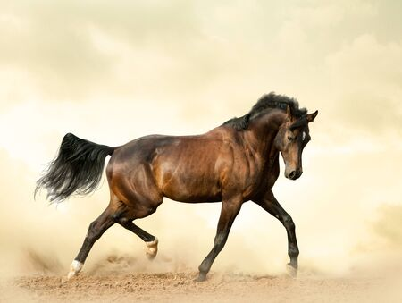 Bay saddle horse in a desert showing movements Stok Fotoğraf