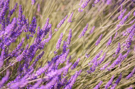 Lavender flowers background closeup in summer