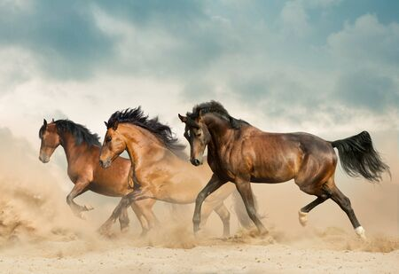 Beautiful bay horses running in desert on freedom Banque d'images
