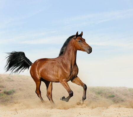 Bay young horse in desert runninf wild