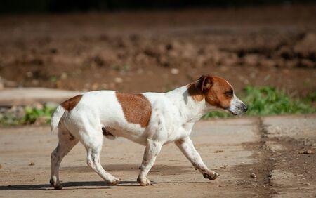 Jack russel dog male walking on his own in summer Standard-Bild - 130516698