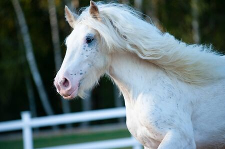 Beautiful white shire horse moving in paddock
