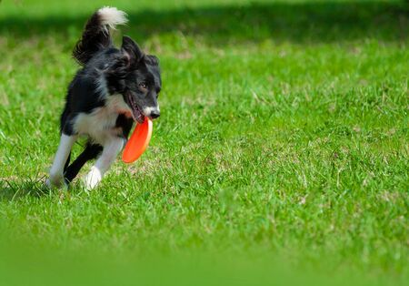 Border collie with frisbie disc on training Stock Photo