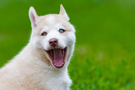 Cute husky pup smiling with backyard on the background Stock Photo