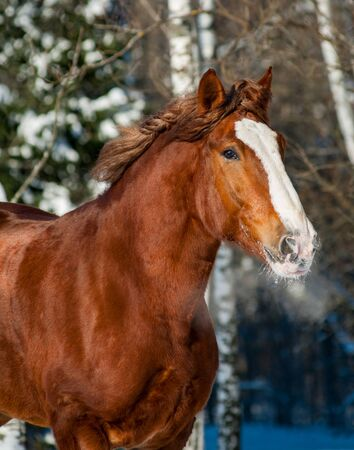 Beautiful draft horse winter portrait in sunny day