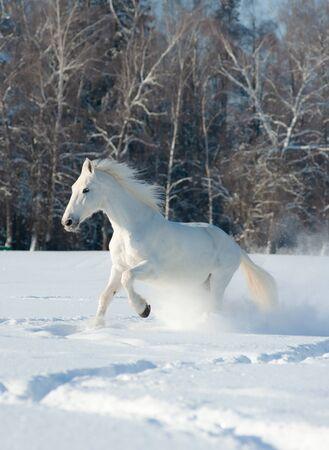 Beautiful white Orlov stallion in winter forest