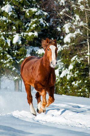Beautiful draft stallion running gallop fast in winter forest