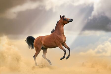 Beautiful young bay arabian horse in desert rearing Banque d'images