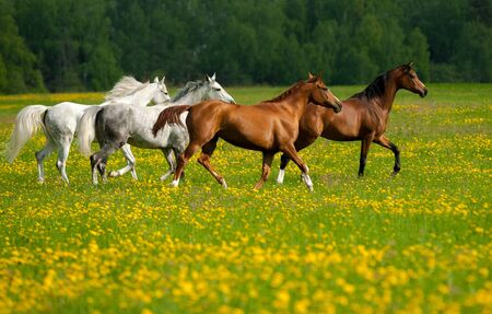 Beautiful horses on freedom in the field of dandelions