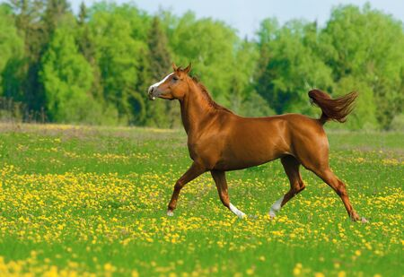 Chestnut beautiful horse in the field of dandelions Banque d'images