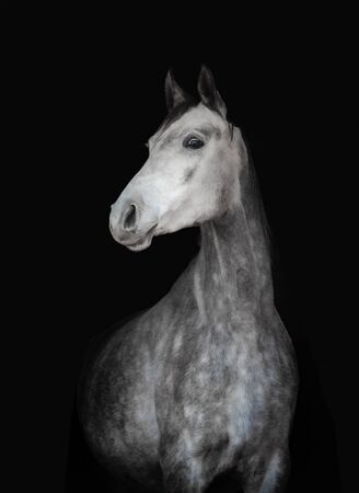 Portrait of young dapple gray horse on a black background Banque d'images