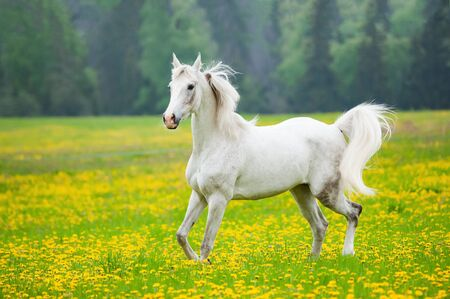 Beautiful white arab horse in the field of dandelions. White horse running on freedom