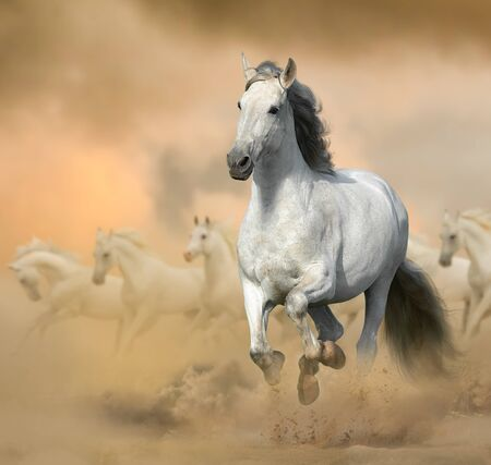 Andalusian stallion in prairies. Running white horse on a wild. Wild white horses in sunset, galloping. Farm animals theme