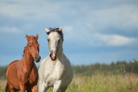Couple of horses on freedom in fields. Gray arabian stallion and chestnut horse are running together on the wild