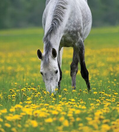 Dapple gray horse grazing in the field of dandelions