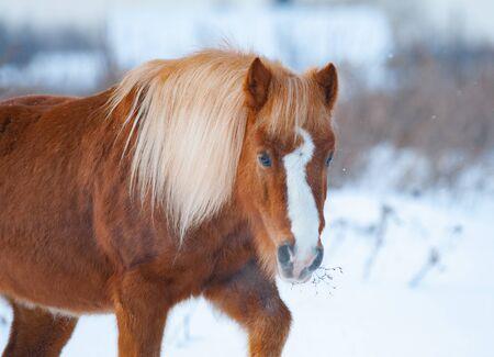 Kucyk szetlandzki Palomino w mroźny zimowy dzień