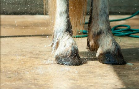 Horse hooves being washed from the water hose outdoors. Horse at the far. Gray white horse hooves details closeup.