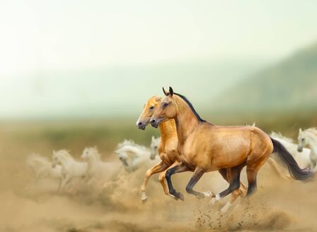 Beautiful wild horses in prairies. Wild horses running fast with the group of white arabian horses. Mountains and desert. Farm animal theme Reklamní fotografie