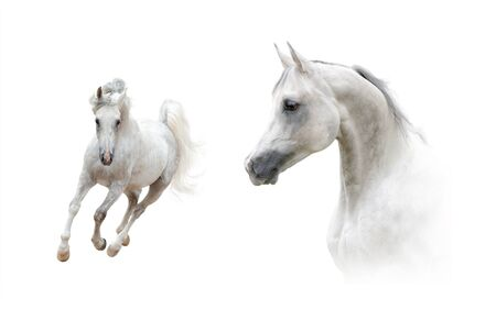 Collection of portrait and full length arabian stallion over a white background. White arabian horse headshot and galloping front view. Dapple gray white horses in high key style