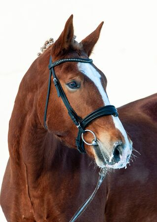Chestnut saddle horse in winter, wearing bridle. Close portrait of a beautiful chestnut stallion Stock Photo