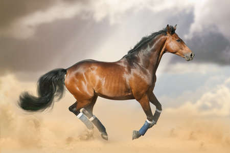 Beautiful bay horse running gallop on the wild in the dust. Sportive bay saddle horse galloping in prairies. Horse on the freedom Imagens