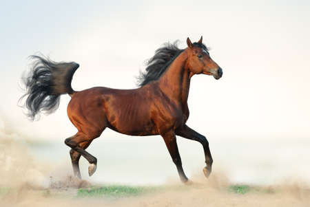 Beautiful bay arabian stallion on freedom. Arab horse running on freedom on the wild. Bay arabian horse on grass. Elegant arab stallion trotting