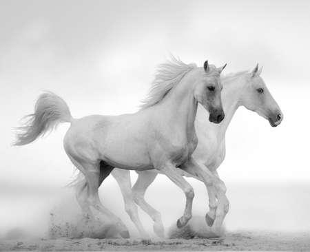 White stallion is running gallop over a white background, monochromatic shot