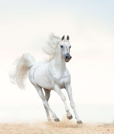 Beautiful arabian stallion running on freedom. Pastel tones. White arab horse by the sea. galloping white horse