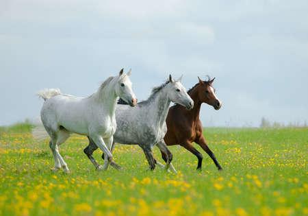 beautiful arabian horses are running in the field of dandelions