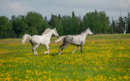 Gray arabian horses running free in the field of dandelions with trees and sky on the background