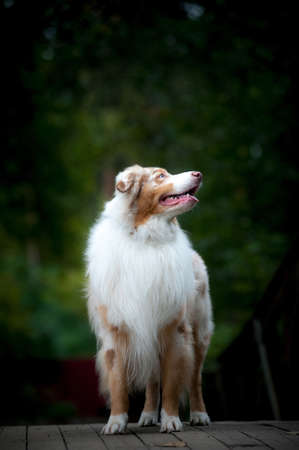 Beautiful merle australian sheepdog looking up, standing on a wooden surface in the forest
