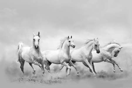 White horses running wild, monochrome photo