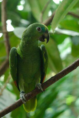 Close up of a green parrot on branch Фото со стока