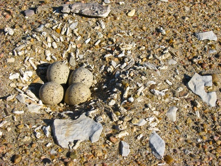 Piping plover (Charadrius melodus) nest on a sandy shore Stock Photo