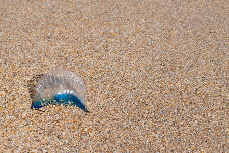 portugese: Blue Portugese Man-of-War on the Beacg
