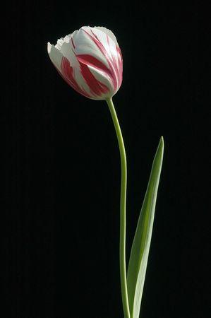 Single Tulip met rode en witte bloei Stockfoto