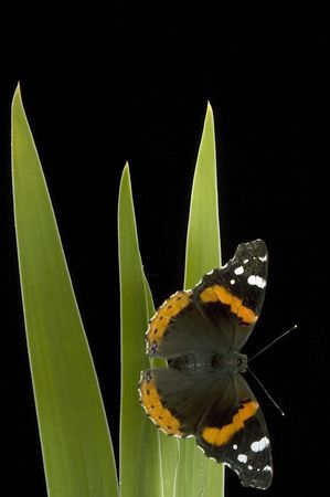 admiral: Red Admiral butterfly portrait on black Stock Photo