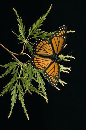 viceroy: Viceroy butterfly portrait on black background