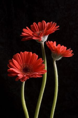 trio: Trio of red Gerbera Daisies on black background