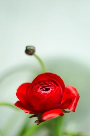 buttercup: Colorful romantic flower ranunculus buttercup macro spring