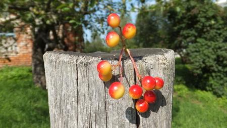 Bunches of unripe viburnum berries on wood Stock Photo