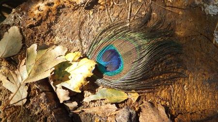 hojas secas: pluma de pavo real en hojas secas en el fondo de madera