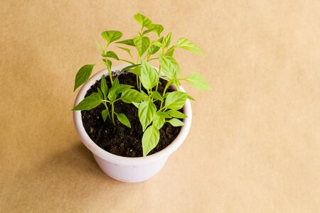 Sprouts of hot Vietnamese pepper in a purple pot on a brown craft background. Top view. 스톡 콘텐츠
