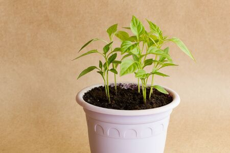 Sprouts of hot Vietnamese pepper in a purple pot on a brown craft background. Side view.